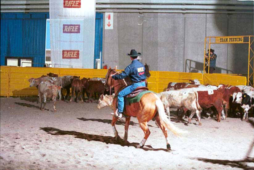 Allenamento personalizzato o in gruppo, con o senza vitelli, per perfezionare il lavoro del binomio cavallo/cavaliere con il bestiame.